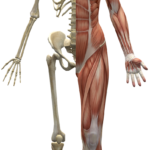 muscles-2277447_1920.png